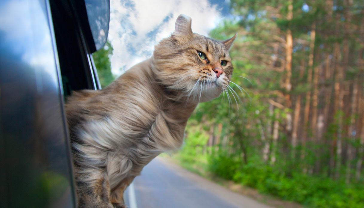 Gatto in auto
